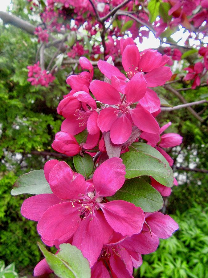 Crab Apple Blossoms by Stephanie Moore