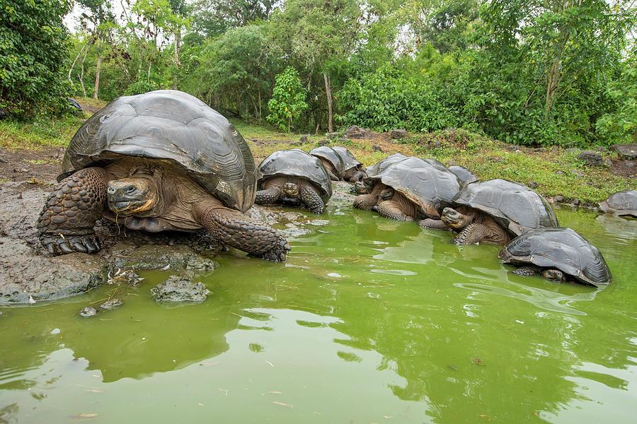 Animal Photograph - Creep Of Indefatigable Island Tortoises by Tui De Roy