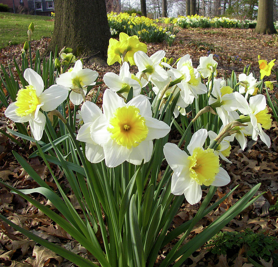 Daffodil Field Photograph