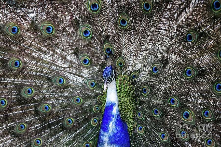 Dancing Peacock by Awais Yaqub