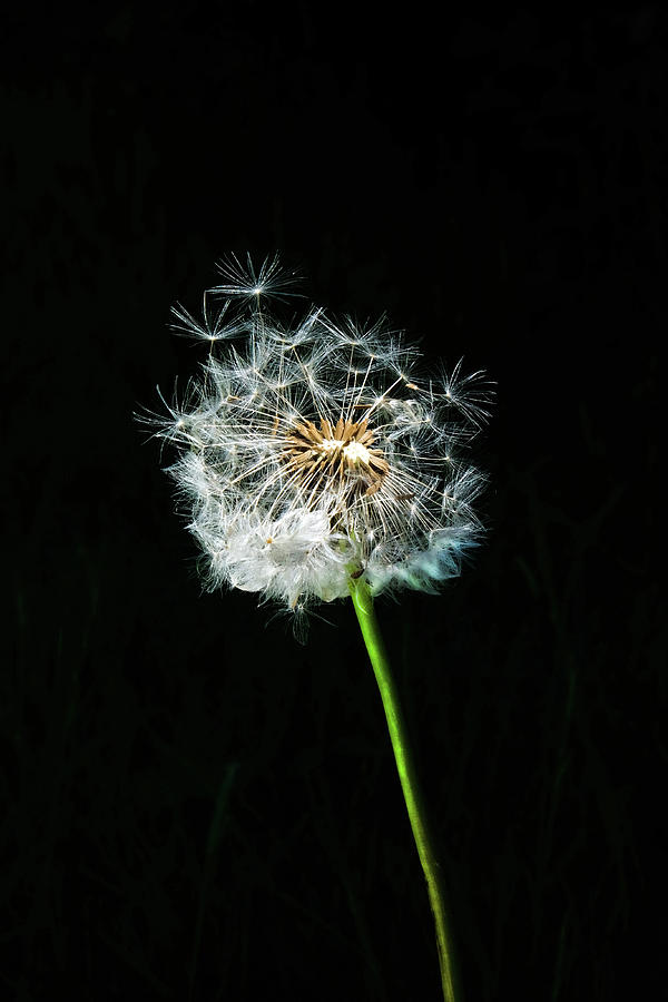 Things about Dandelion Seeds To Buy