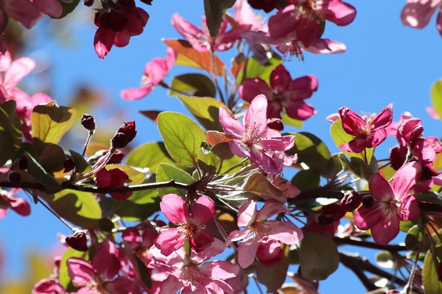 Dark Pink Cherry Blossoms by TJ Fox