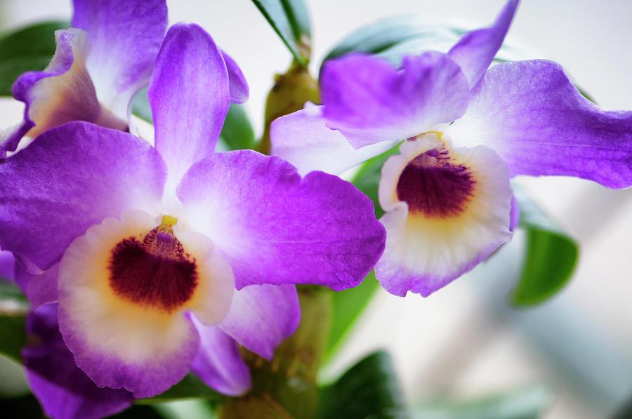Rockville Photograph - Debdrobium Nobile Flowers by Maria Mosolova