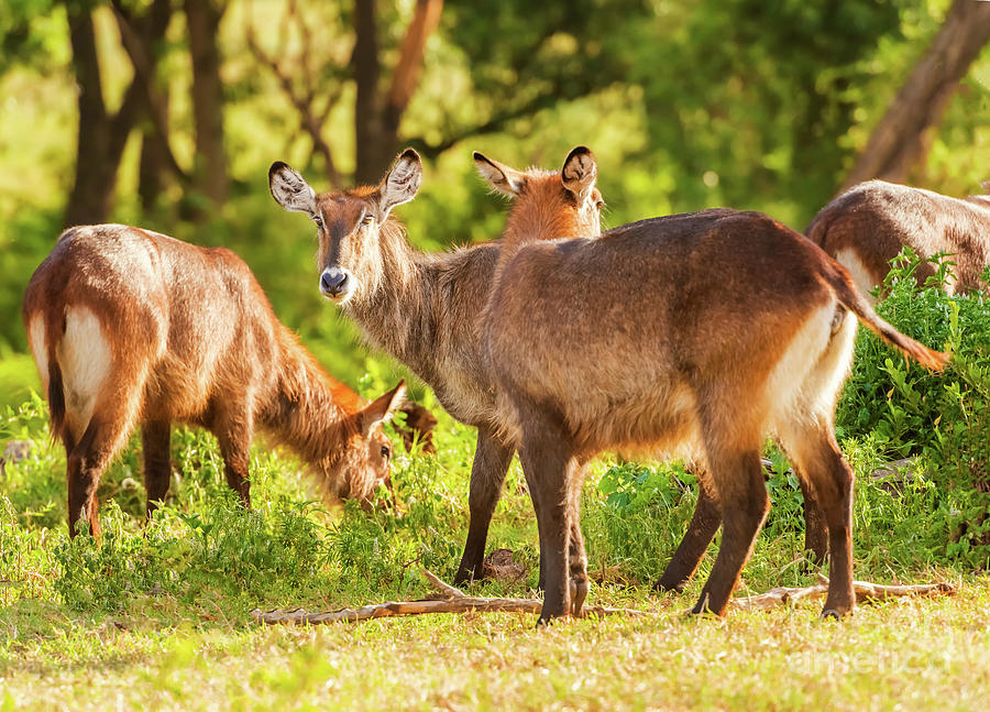 Defassa Waterbuck antelope in Ngorongoro by Marek Poplawski