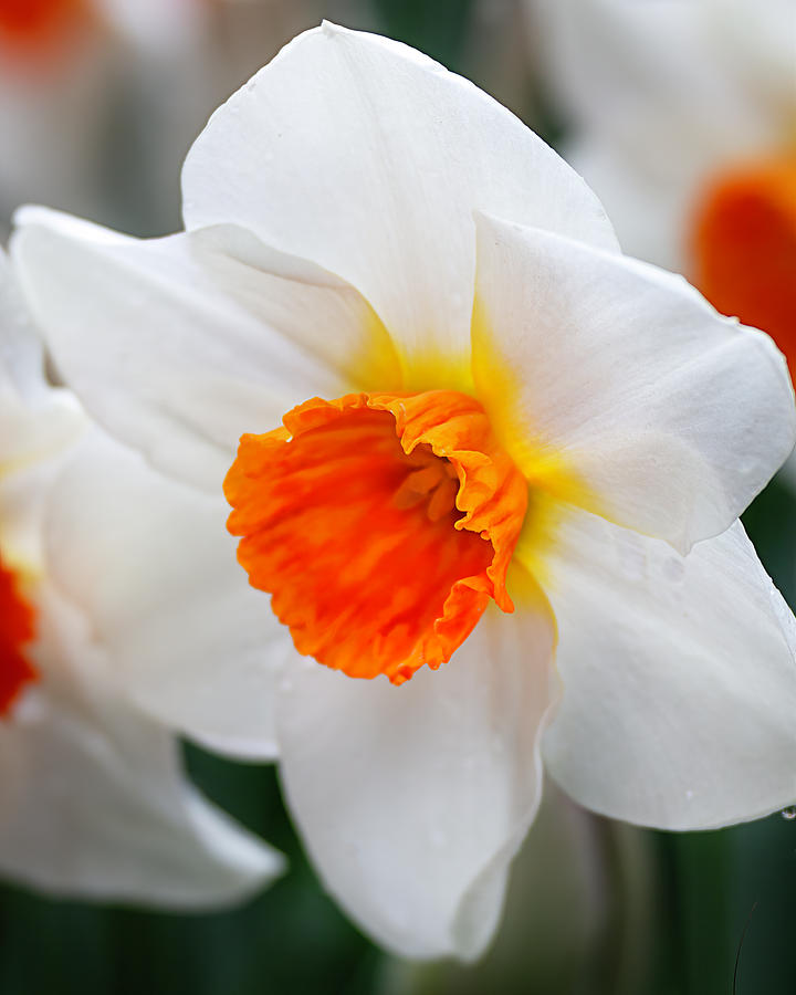 Delightful Daffodil by TL Wilson Photography  by Teresa Wilson