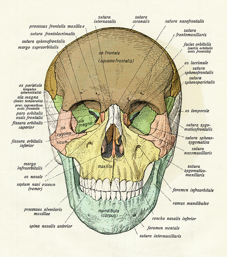 Diagram Of Human Skull Photograph By Graphicaartis