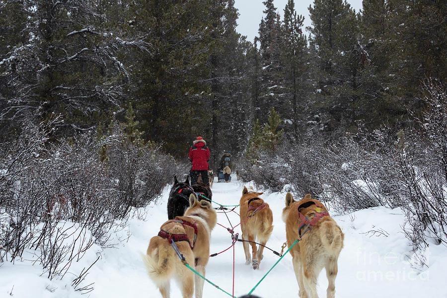 Dog Sledding Photograph - Dog Sledding Near Whitehorse Yukon Canada by Louise Heusinkveld