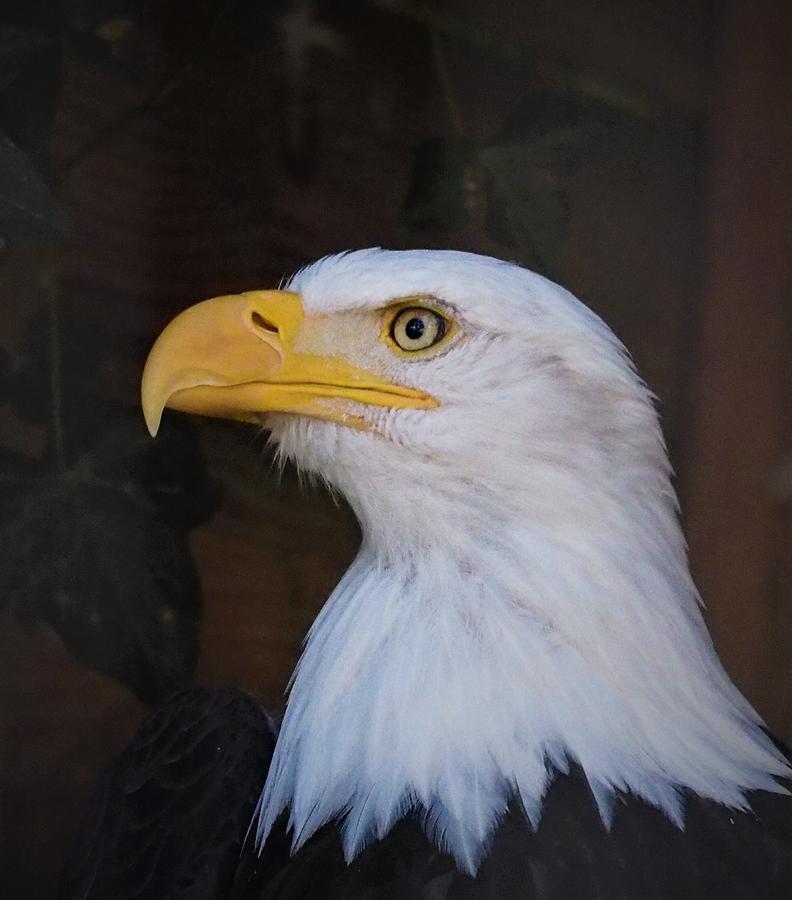 Eagle Photograph - Eagle Portrait by Darrell MacIver