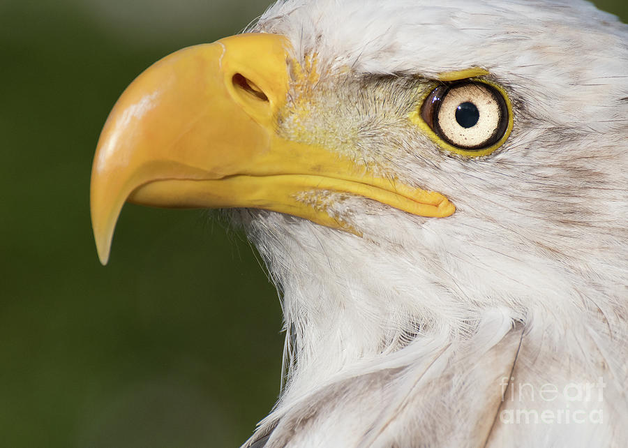 Eagle Portrait by Eyeshine Photography