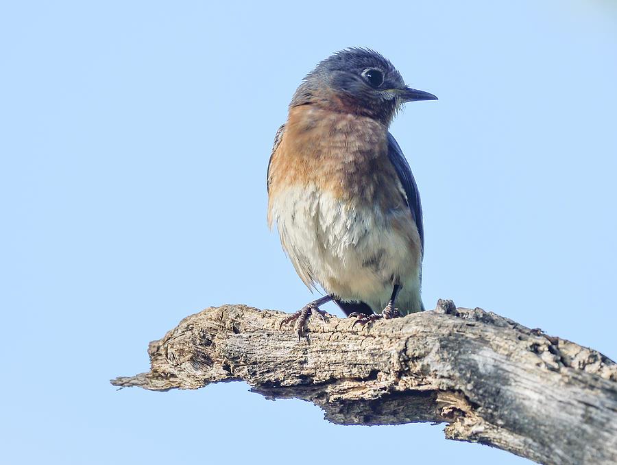 Eastern Bluebird - North American wild songbird by Philip Duff