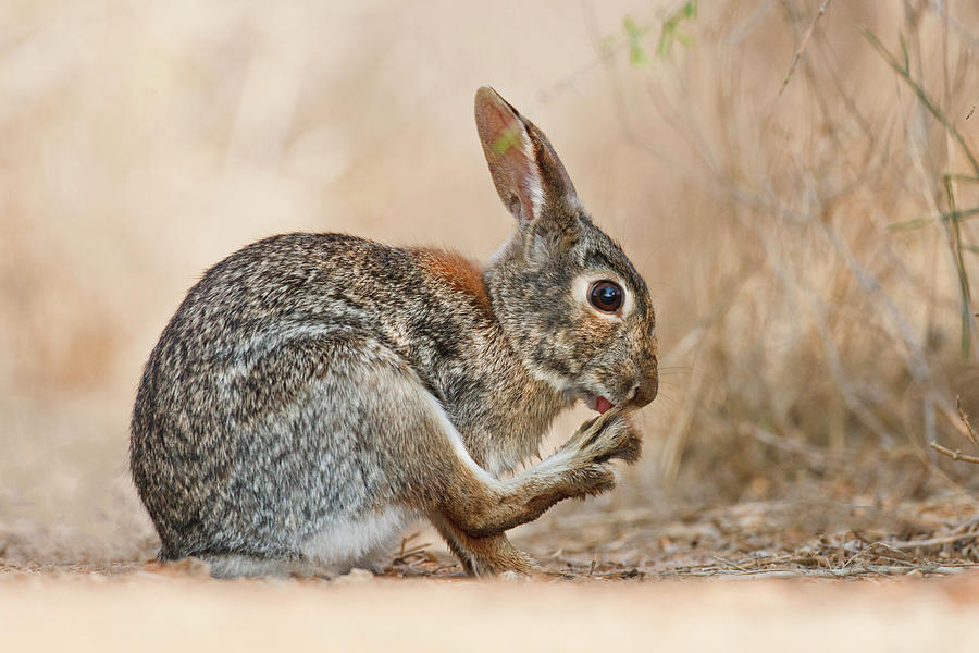 Eastern Cottontail Sylvilagus Photograph by Danita Delimont