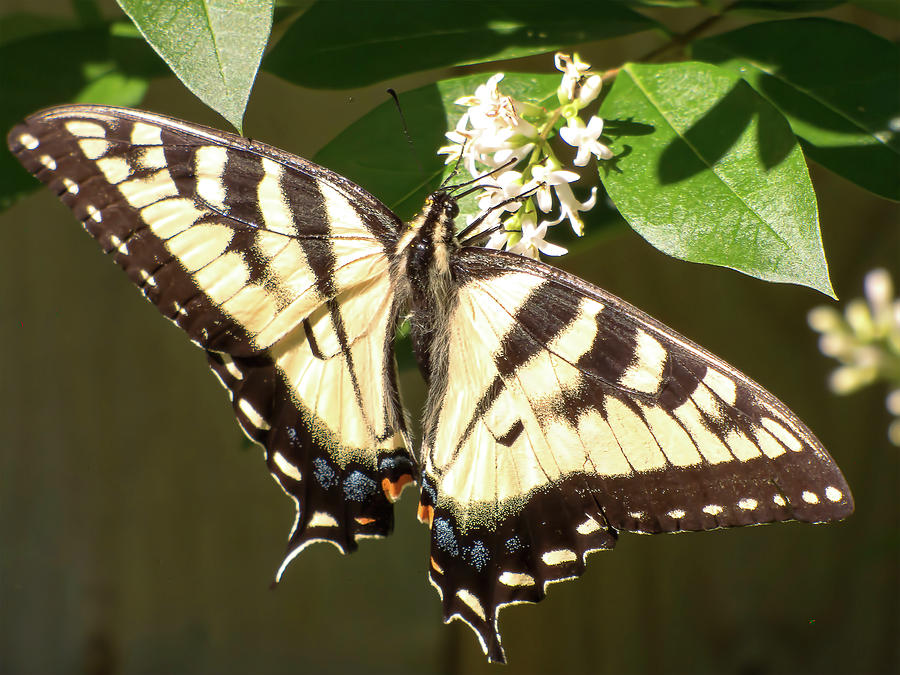 Butterfly Mixed Media - Eastern Tiger Swallowtail  Butterfly Wingspan by Leslie Montgomery
