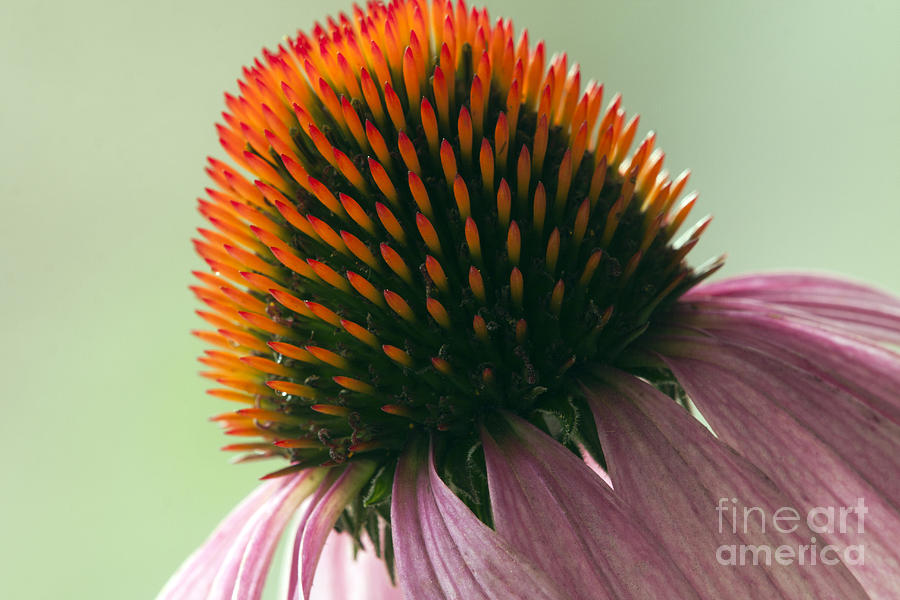 Coneflower Photograph - Echinacea Eye Candy by Tammy Harriss
