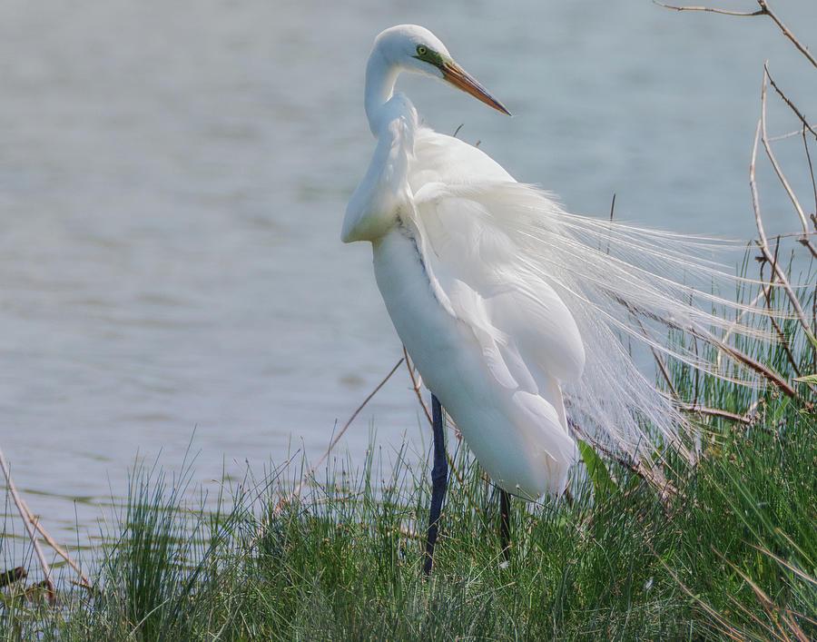 Egret 8 by Richard Kopchock