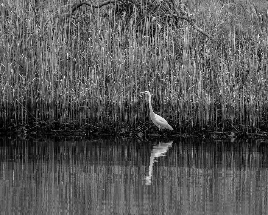 Egret Reflection 5831 by Cathy Kovarik