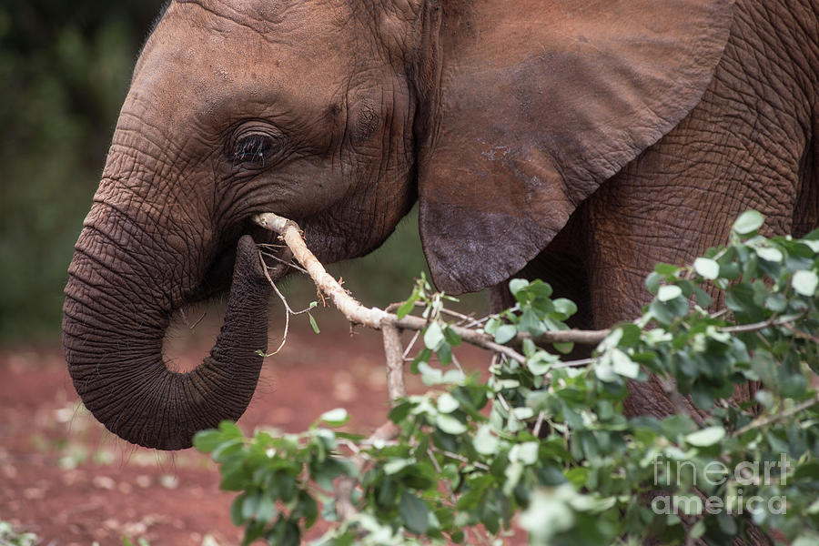 Elephant chews on a branch by Steve Somerville