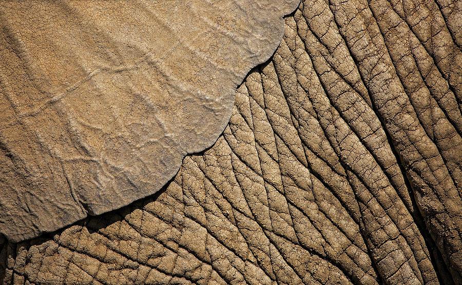 Elephant Ear Photograph By Deborah Penland