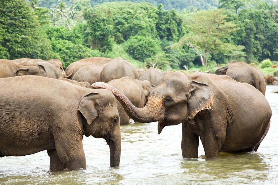 Elephants In River Photograph by Lp7