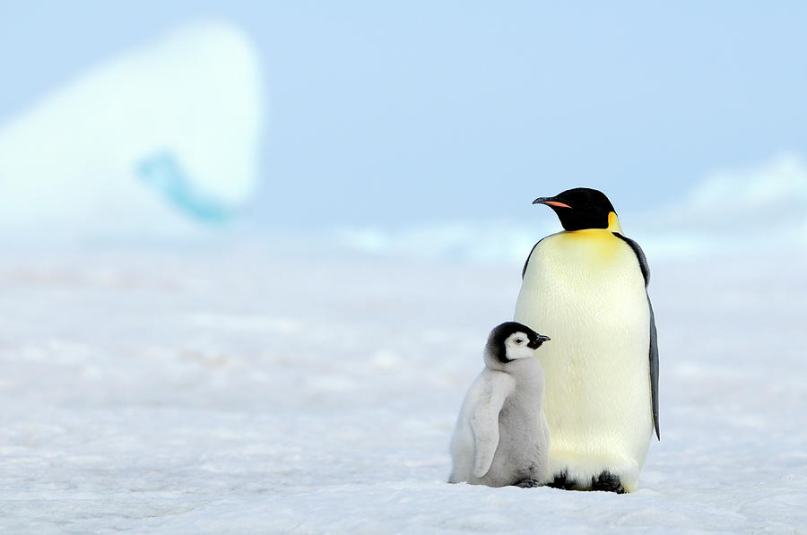 Emperor Penguin Photograph by Tcyuen