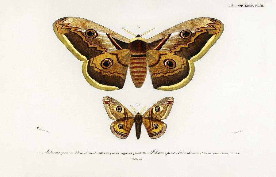 Illustration Painting - Emporor Moths Illustrated By Charles Dessalines D Orbigny  1806-1876  by Celestial Images