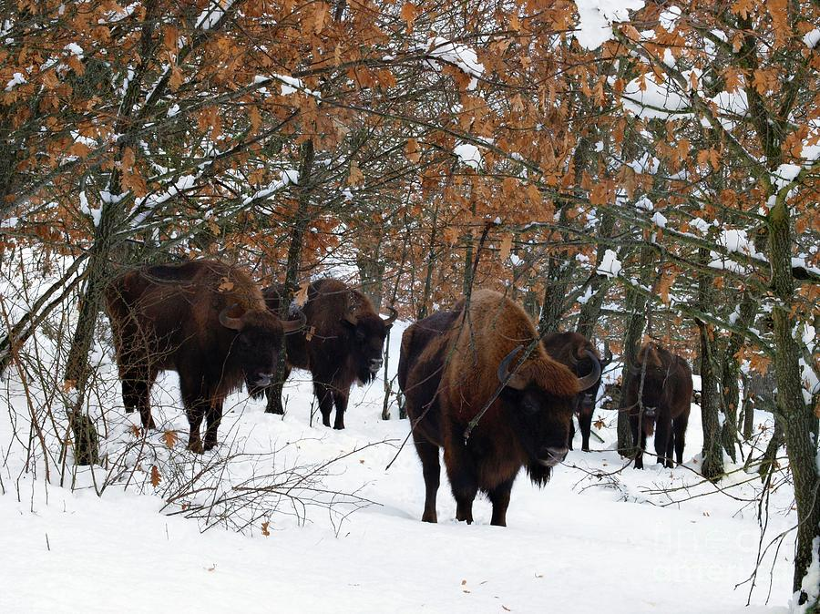 European Bison Photograph - European Bison by Javier Trueba/msf/science Photo Library