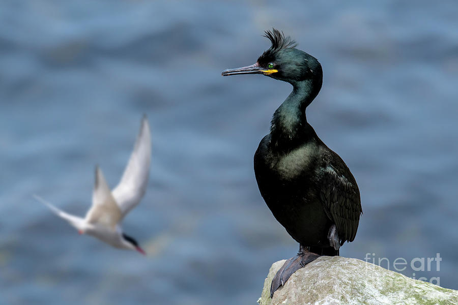 European Shag by Arterra Picture Library