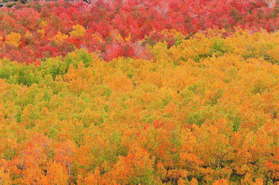 Aspen Photograph - Fall Aspens And Pines Along Bishop by Russ Bishop