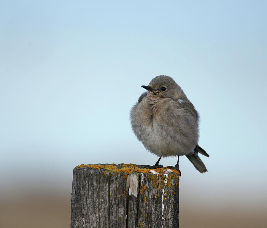 Female Mountain Bluebird by Whispering Peaks Photography