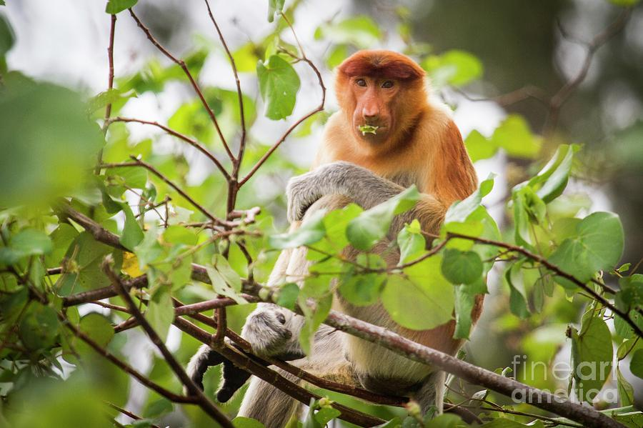 Kinabatangan River Photograph - Female Proboscis Monkey Feeding by Paul Williams/science Photo Library
