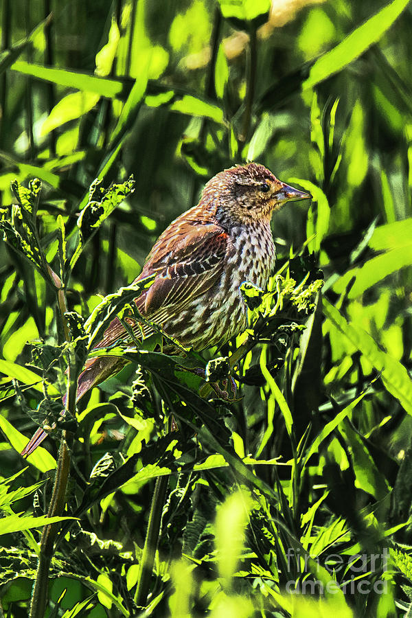 Female Red-Winged Blackbird by Michael D Miller