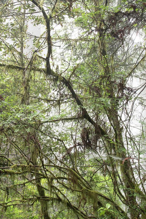 1 Fern Grove Fog, N. California by Phyllis Spoor