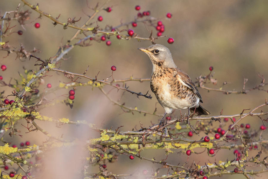 Fieldfare by Wendy Cooper