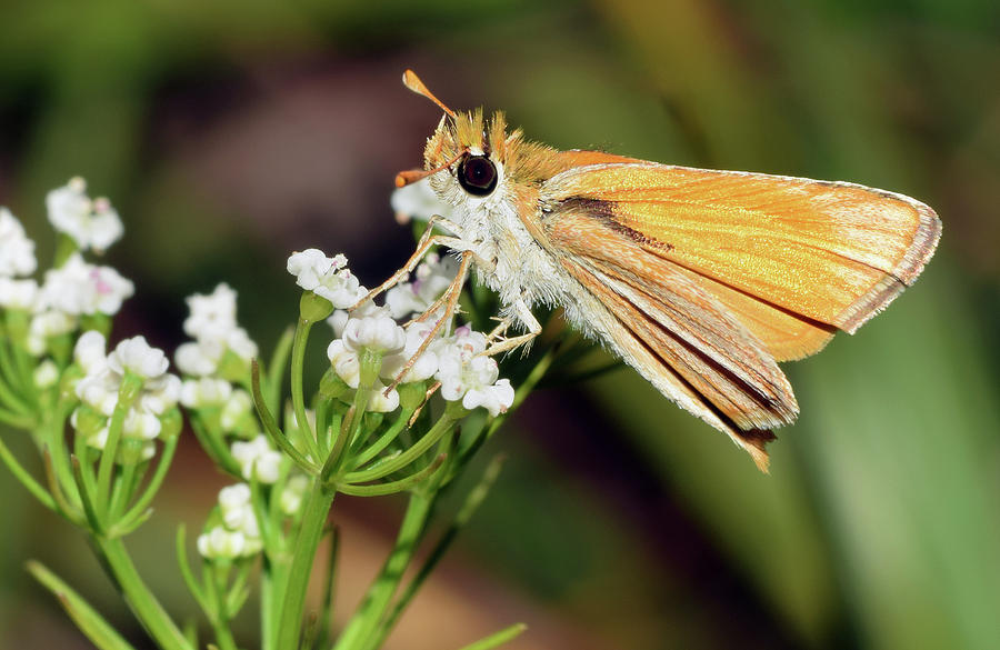 Fiery Skipper by Larah McElroy