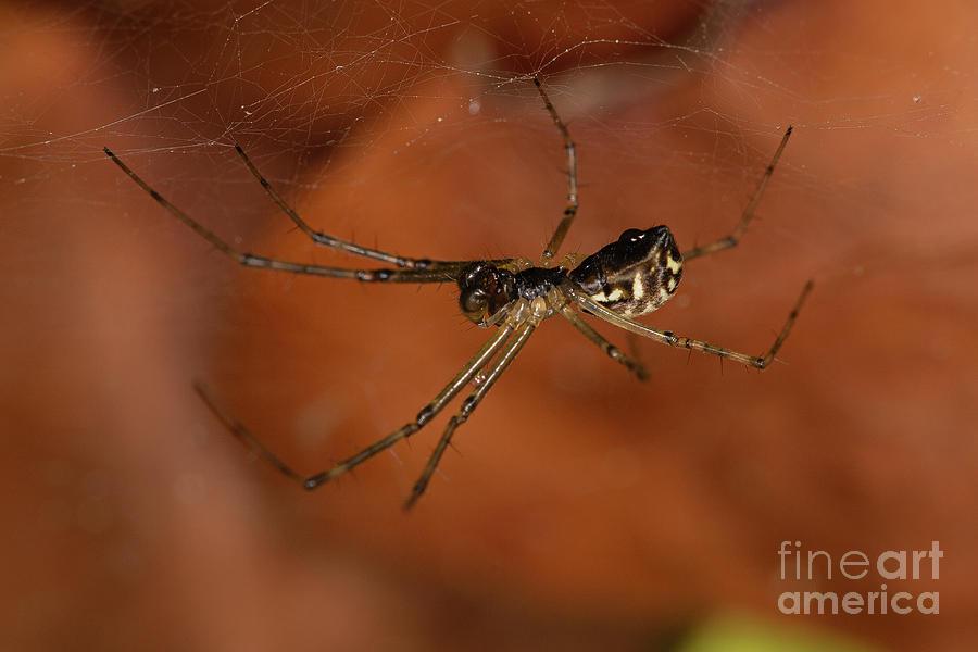 Filmy Dome Spider by Brian Roscorla