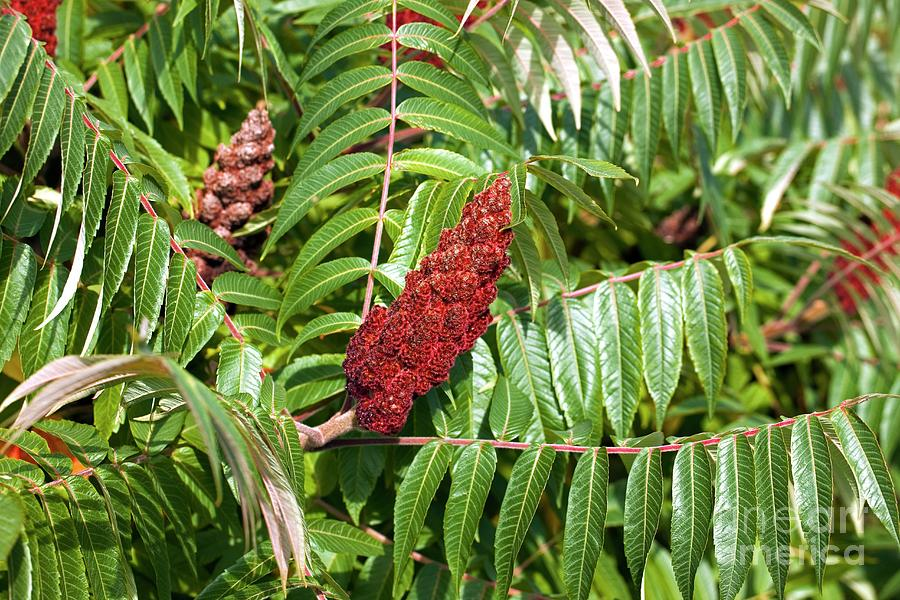 Flame Tree Photograph - Flame Tree (rhus Taphrina) by Dr Keith Wheeler/science Photo Library