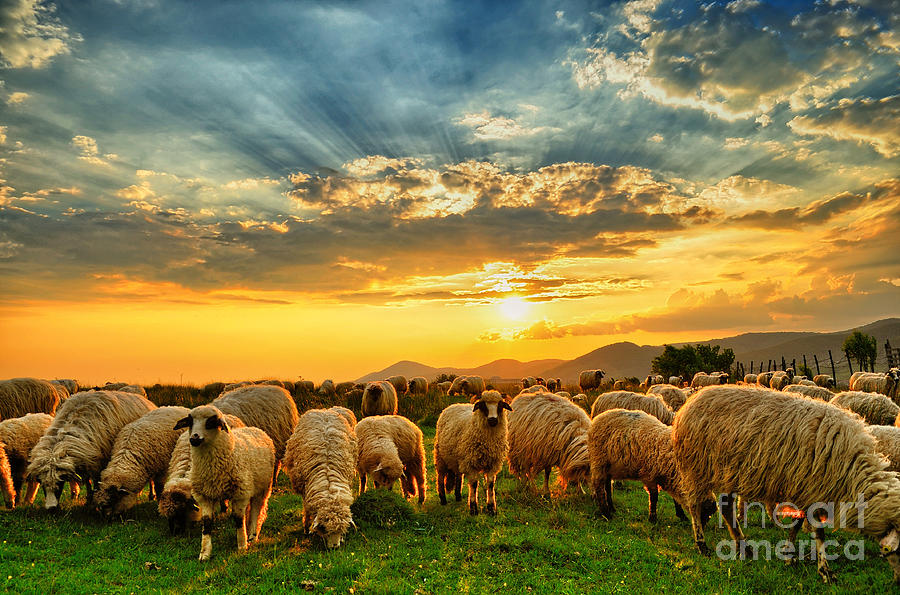 Flock Photograph - Flock Of Sheep Grazing In A Hill At by Mihai tamasila