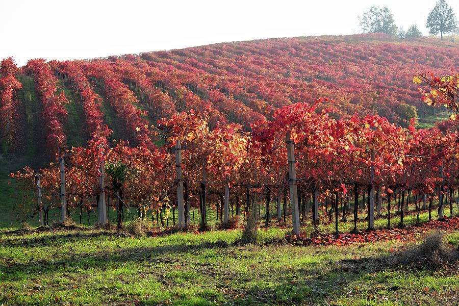 Foliage In Lambrusco Vineyard Photograph by Nimu1956