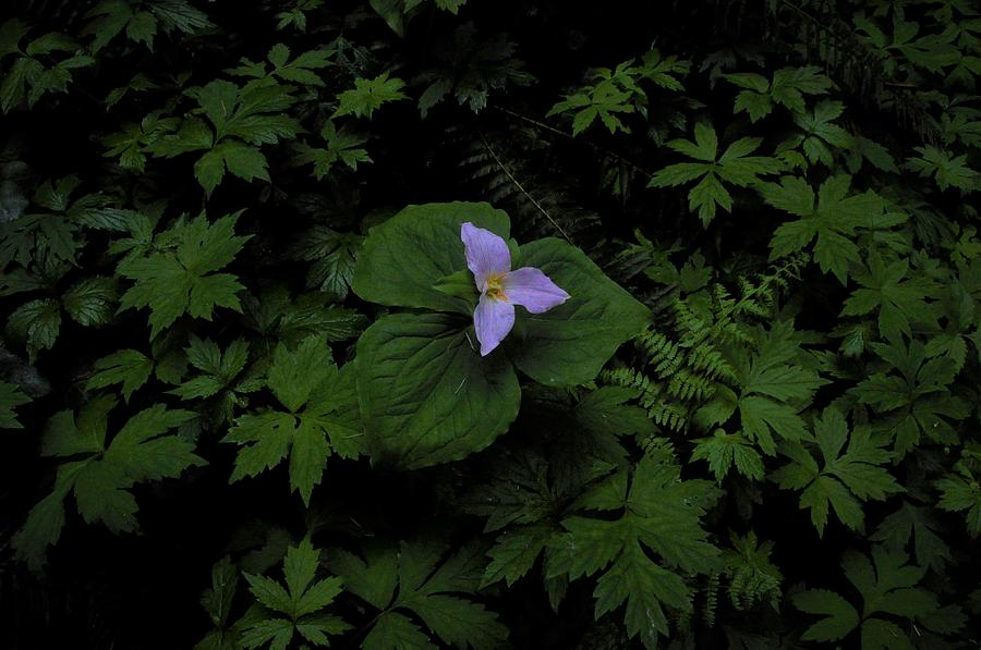 Forest Trillium by Charles Lucas