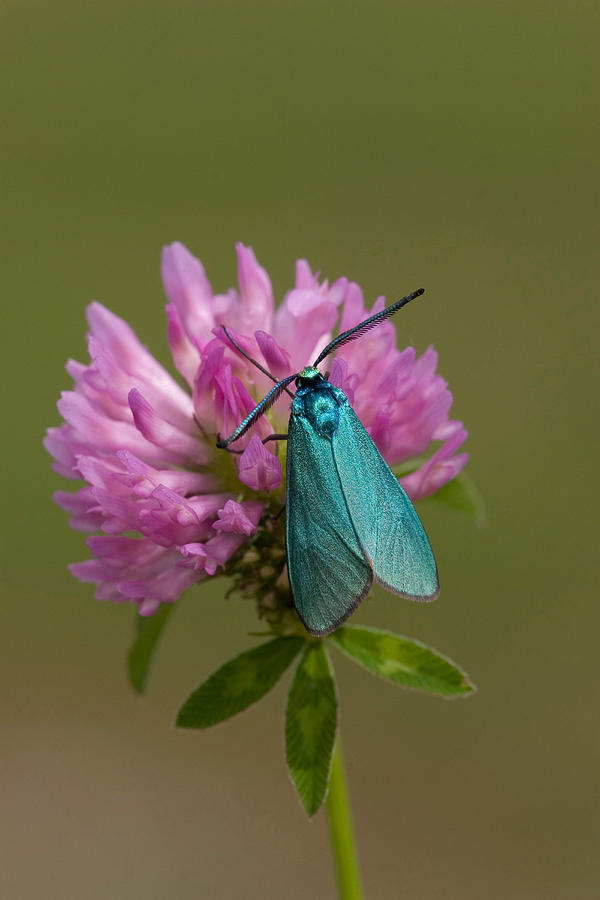 Forester Moth by DAVID HOSKING