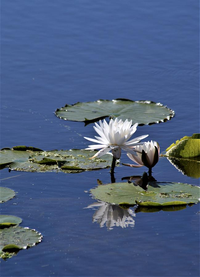 Fragrant Water Lily  by Warren Thompson
