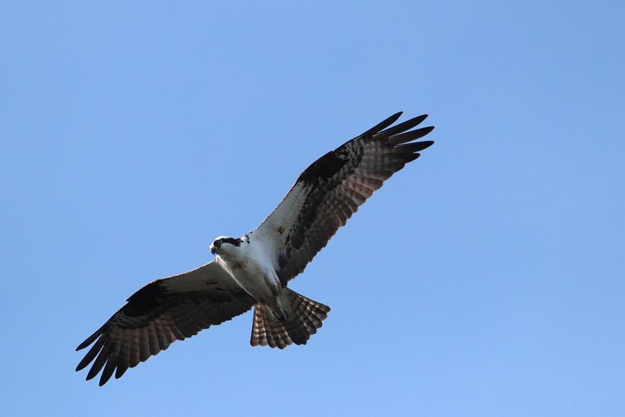 Free Flying Osprey by Karen Silvestri