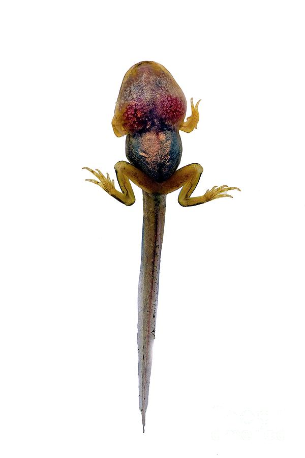 Common Frog Photograph - Frog Tadpole 1 by Dr Keith Wheeler/science Photo Library