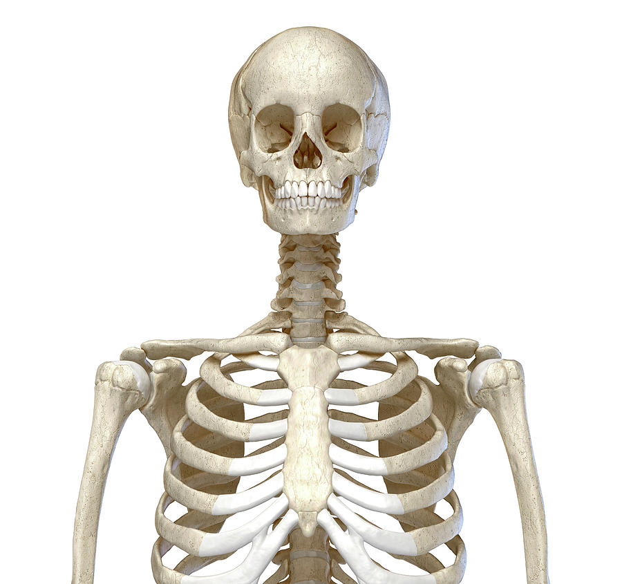 Front View Of The Human Torso Skeletal by Pixelchaos