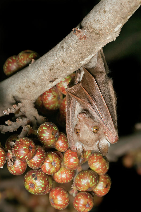Fruit Bat With Figs by Ivan Kuzmin