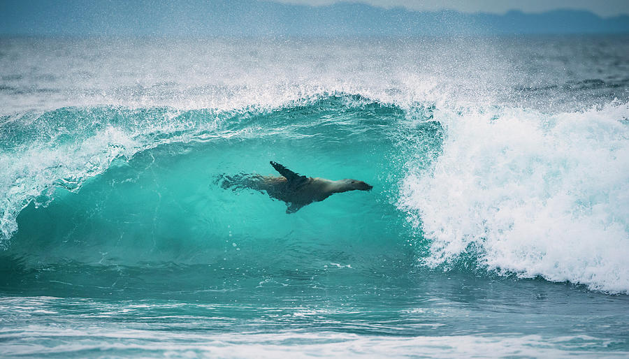 Galapagos Sea Lion Surfing Photograph by Tui De Roy