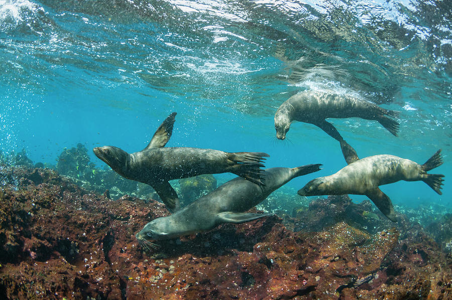 Galapagos Sea Lions Playing Photograph by Tui De Roy