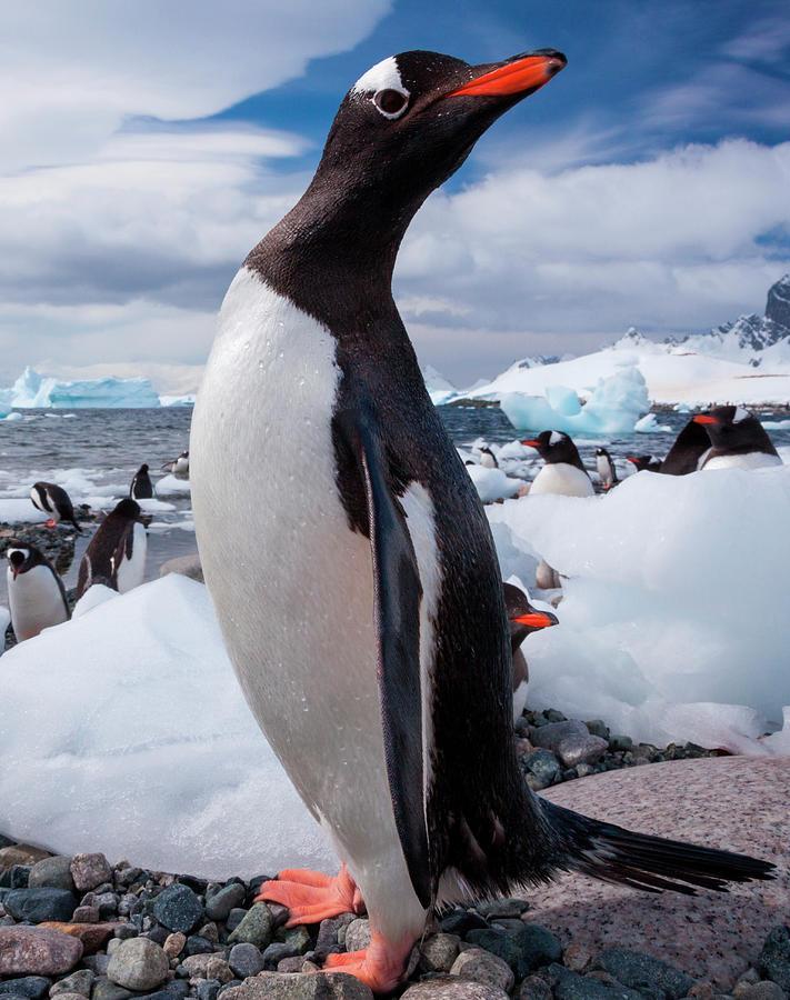 Gentoo Penguins, Antarctica 1 Photograph by Mint Images/ Art Wolfe