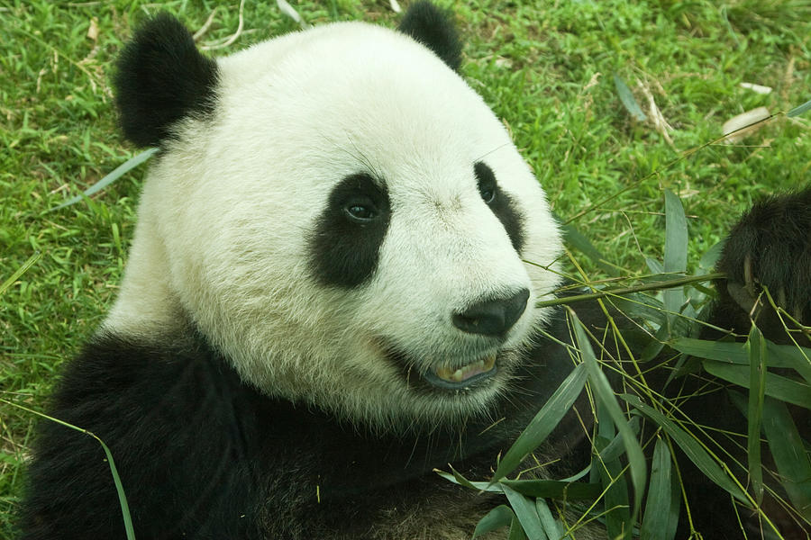 Giant Panda And Bamboo Photograph by Lingbeek