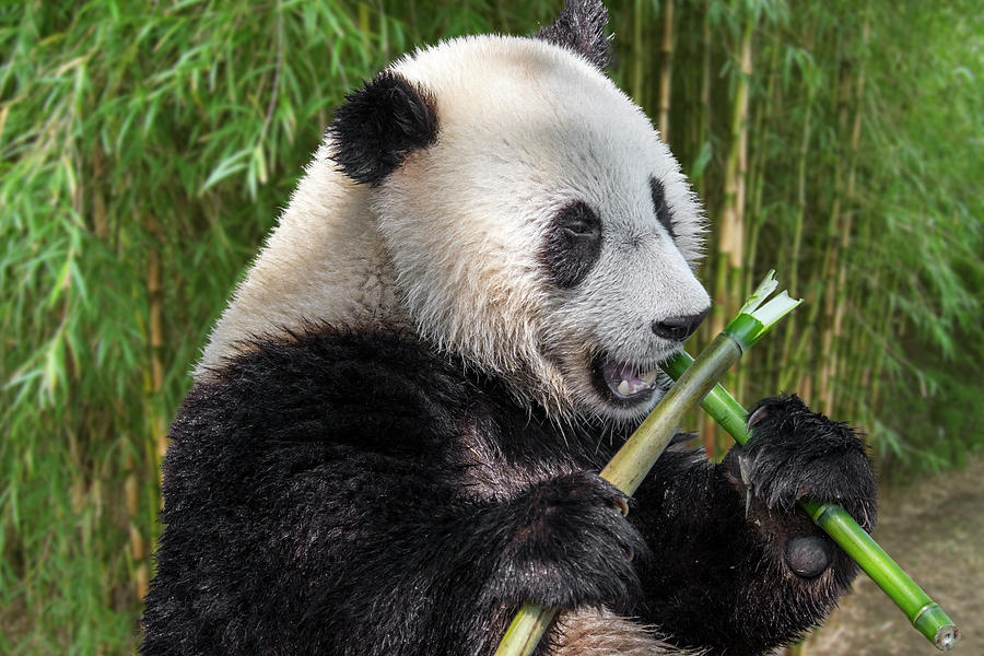 Giant Panda eating Bamboo by Arterra Picture Library