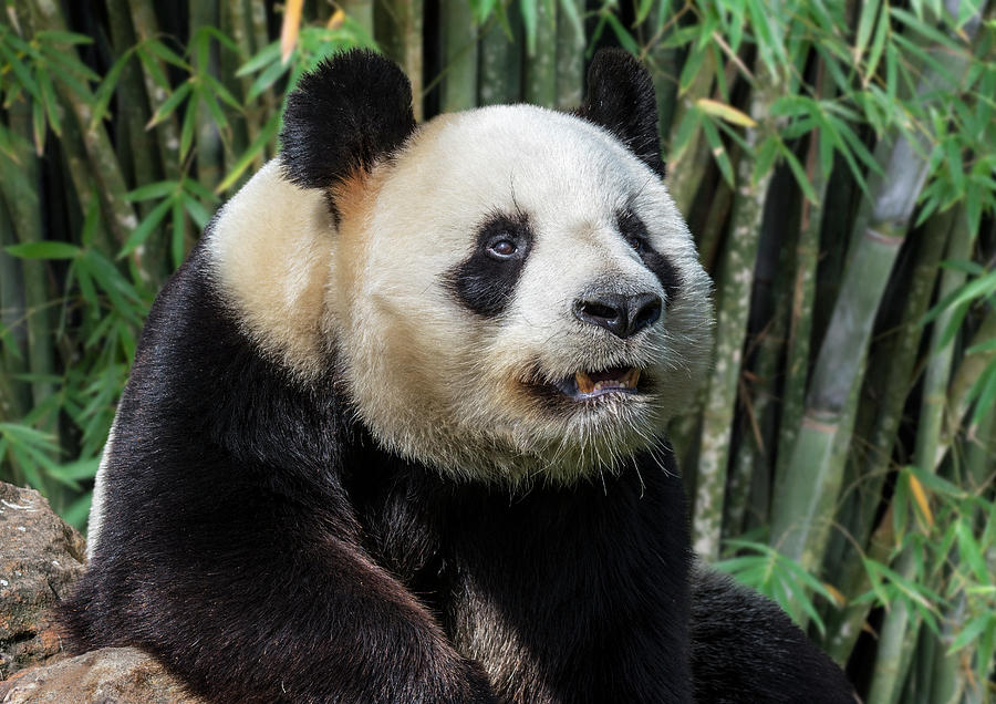 Giant Panda in Bamboo Forest by Arterra Picture Library